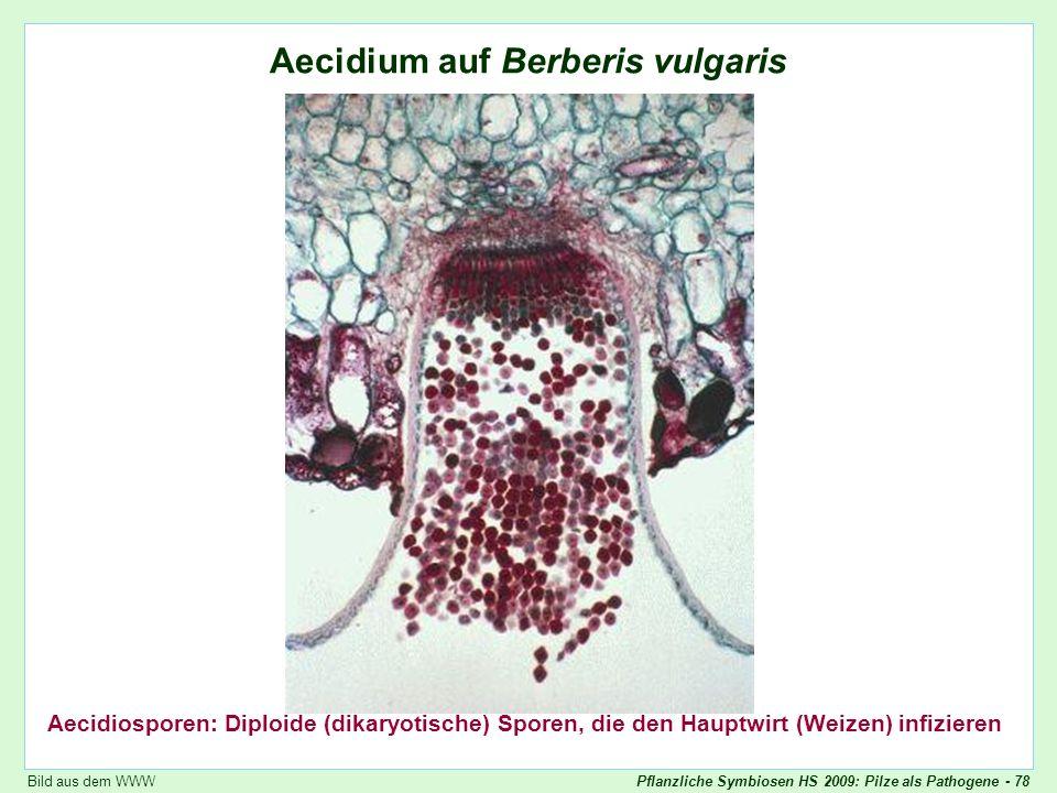 Puccinia graminis: Aecidium auf Berberitze