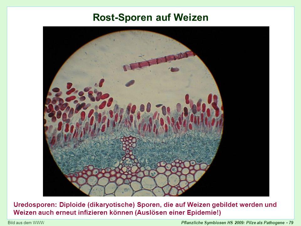 Puccinia graminis: Rost-Sporen auf Weizen