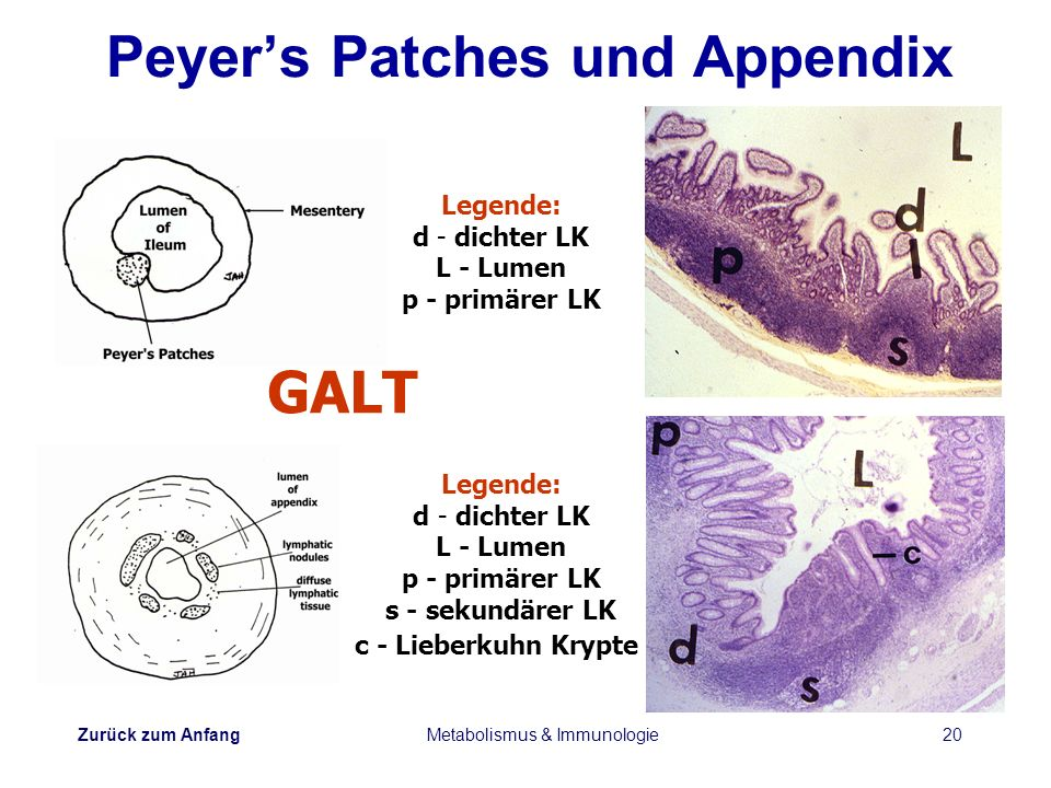 Peyer's Patches und Appendix