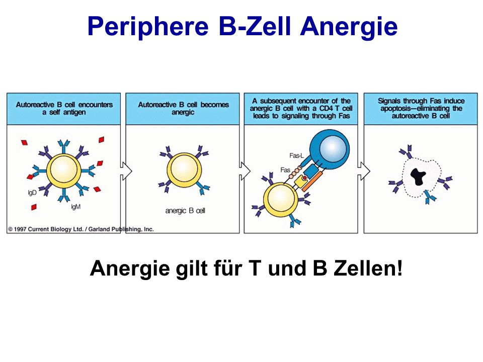 Periphere B-Zell Anergie