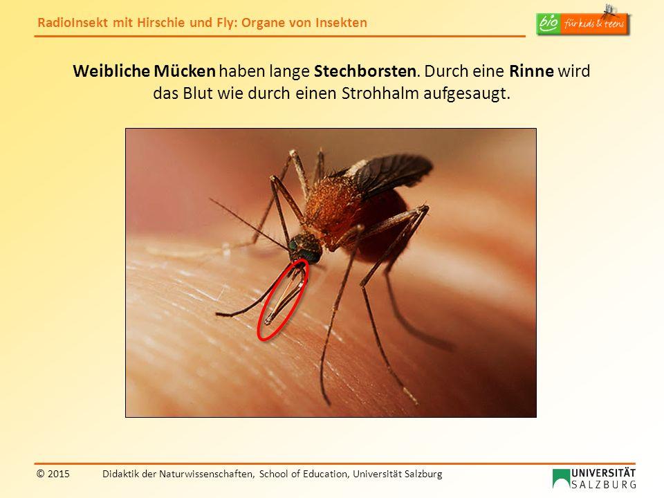 Weibliche Mücken haben lange Stechborsten. Durch eine Rinne wird
