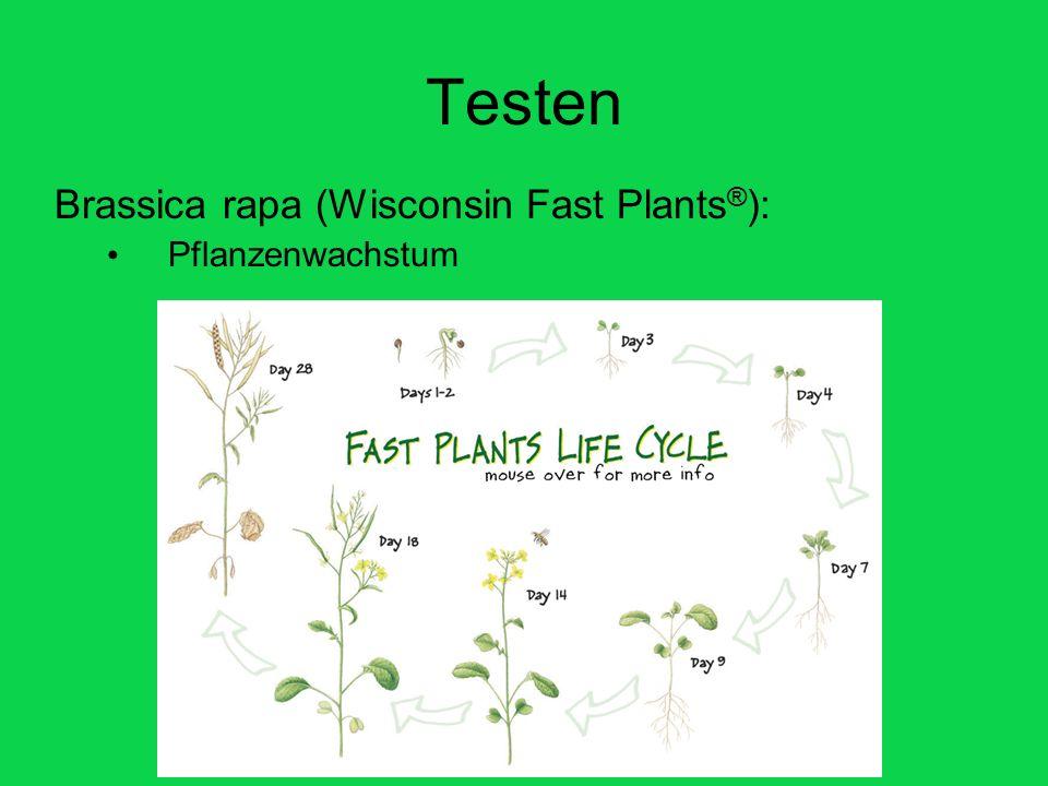 Testen Brassica rapa (Wisconsin Fast Plants®): Pflanzenwachstum