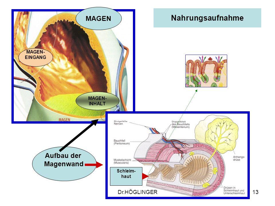 Nahrungsaufnahme MAGEN Aufbau der Magenwand Dr.HÖGLINGER MAGEN-