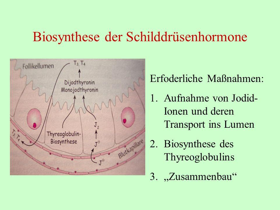Biosynthese der Schilddrüsenhormone