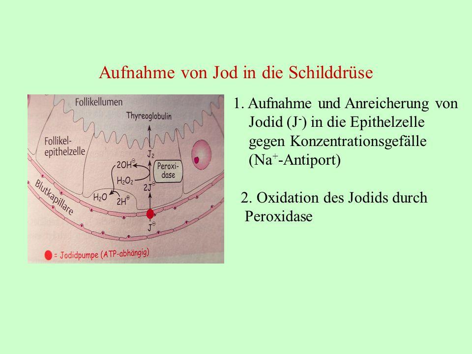 Aufnahme von Jod in die Schilddrüse