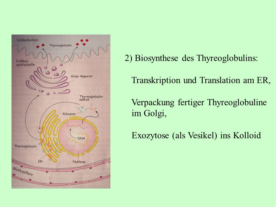 2) Biosynthese des Thyreoglobulins: