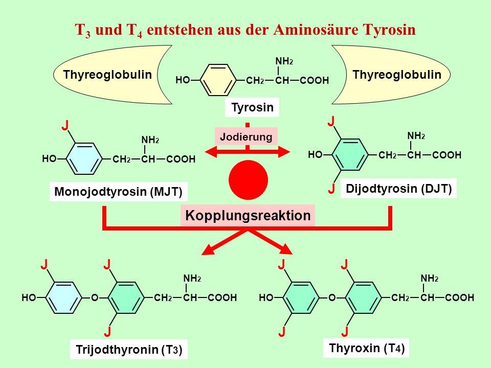 T3 und T4 entstehen aus der Aminosäure Tyrosin