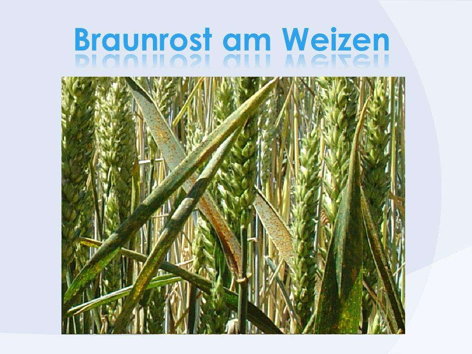 Braunrost am Weizen