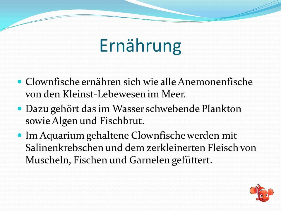 Ernährung Clownfische ernähren sich wie alle Anemonenfische von den Kleinst-Lebewesen im Meer.