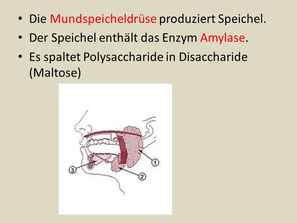 Die Mundspeicheldrüse produziert Speichel.