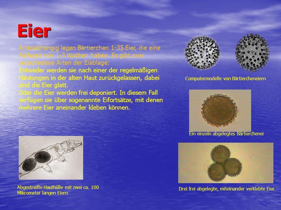 Eier Artenabhängig legen Bärtierchen 1-35 Eier, die eine