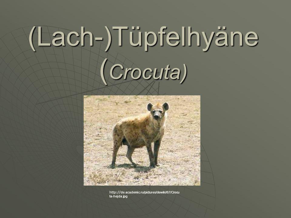 (Lach-)Tüpfelhyäne (Crocuta)