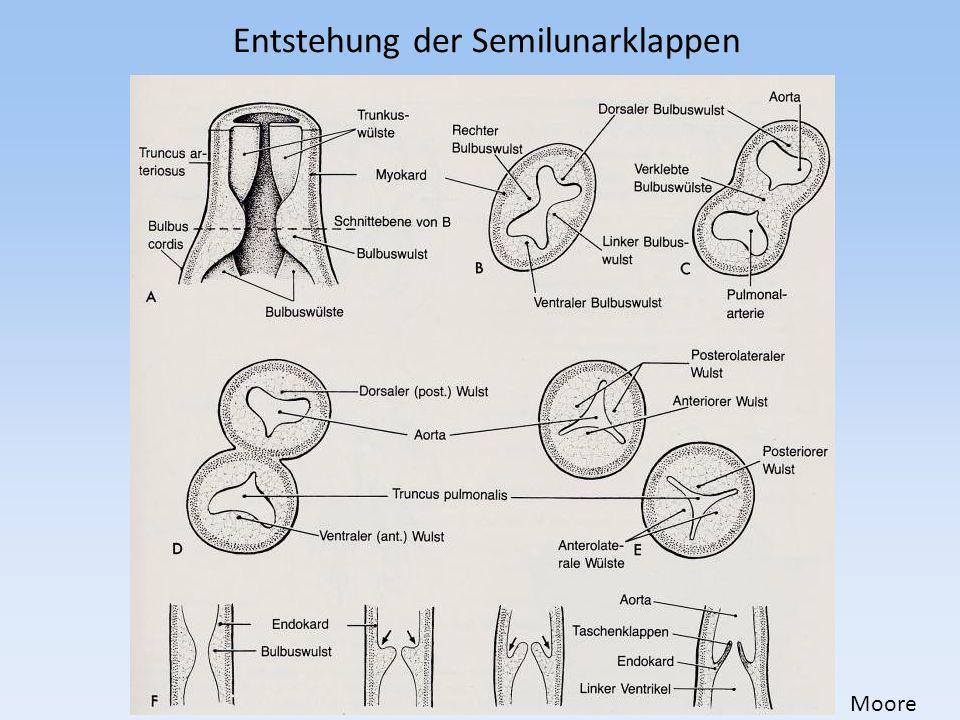 Entstehung der Semilunarklappen