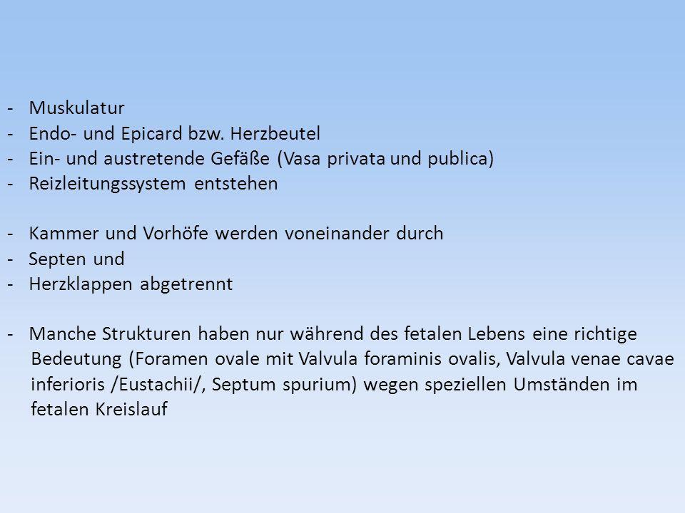 Muskulatur Endo- und Epicard bzw. Herzbeutel. Ein- und austretende Gefäße (Vasa privata und publica)