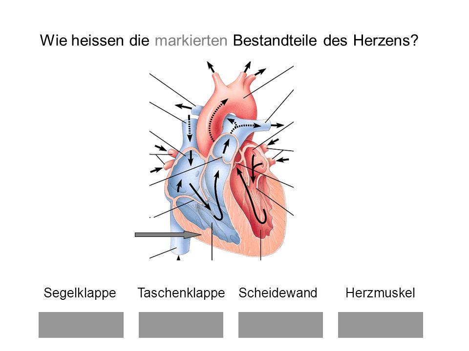 Wie heissen die markierten Bestandteile des Herzens