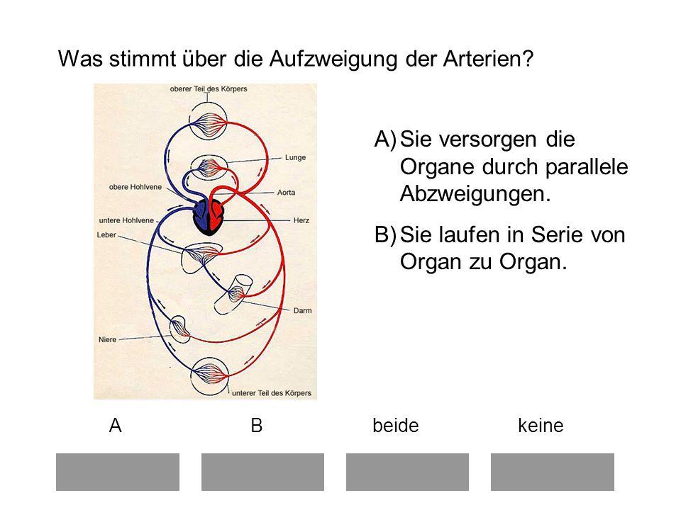 Was stimmt über die Aufzweigung der Arterien