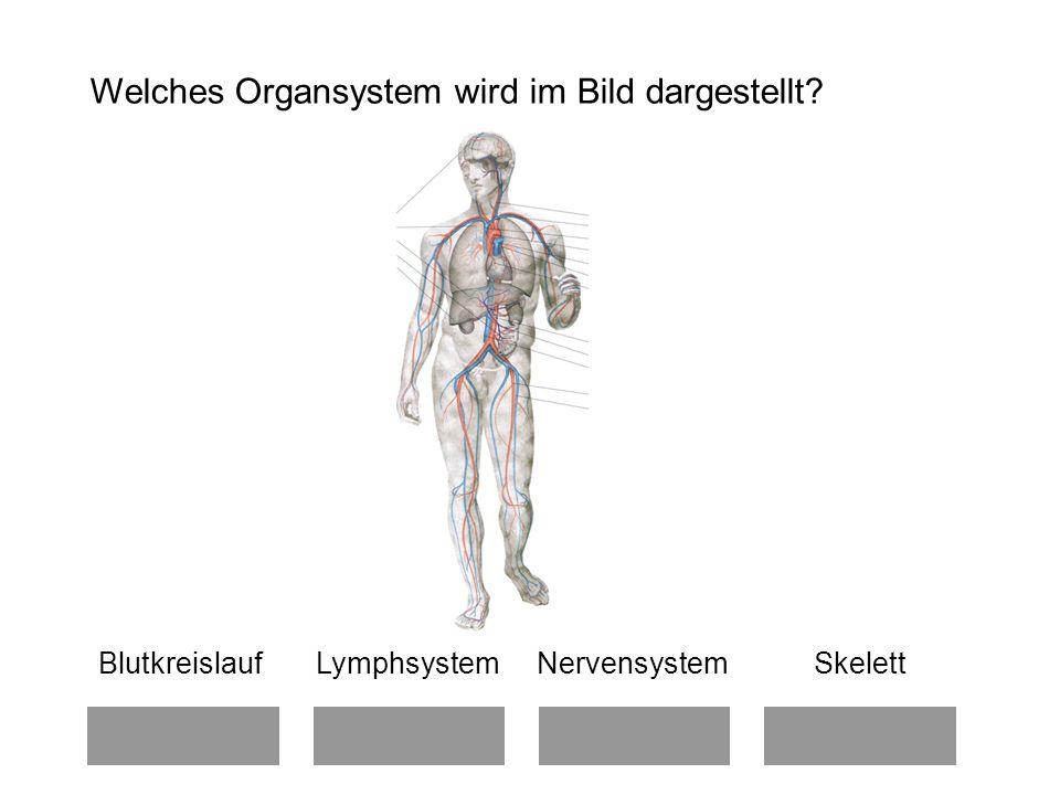 Welches Organsystem wird im Bild dargestellt