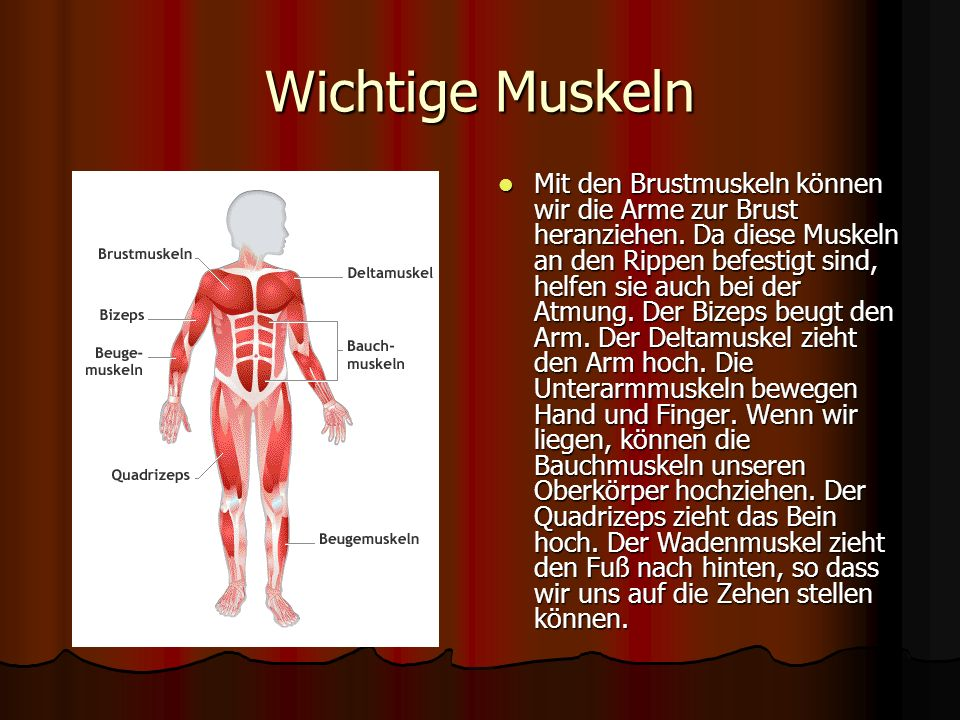 Wichtige Muskeln