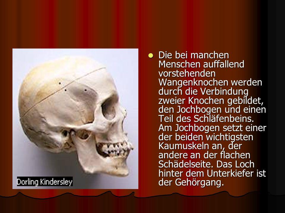 Die bei manchen Menschen auffallend vorstehenden Wangenknochen werden durch die Verbindung zweier Knochen gebildet, den Jochbogen und einen Teil des Schläfenbeins.