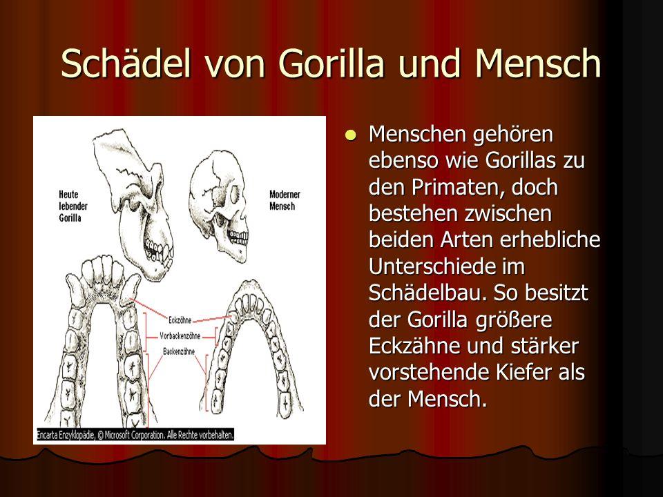 Schädel von Gorilla und Mensch