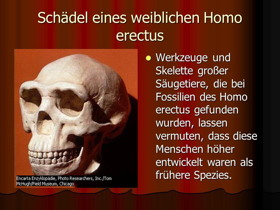 Schädel eines weiblichen Homo erectus