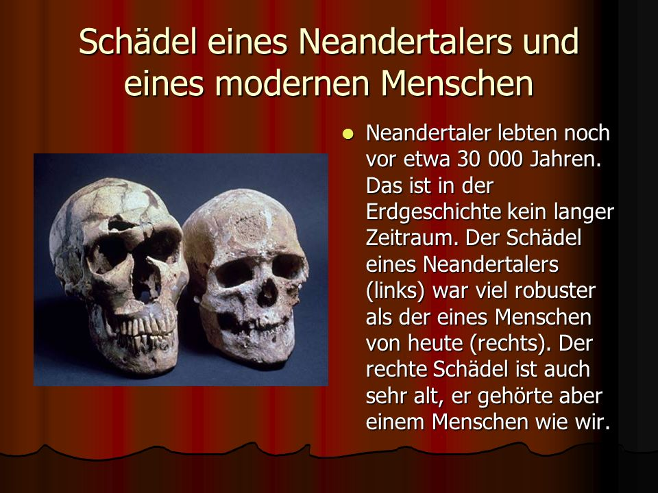 Schädel eines Neandertalers und eines modernen Menschen
