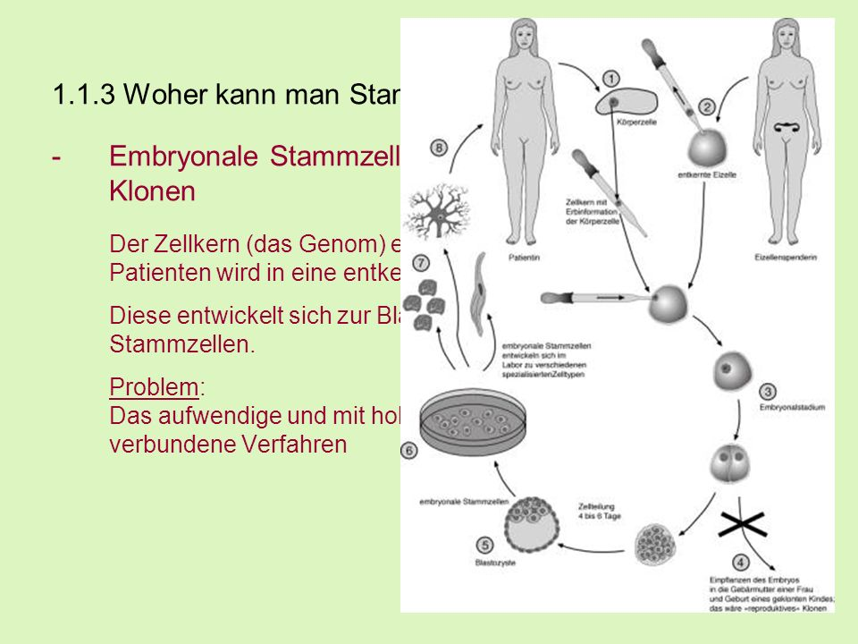 1.1.3 Woher kann man Stammzellen gewinnen