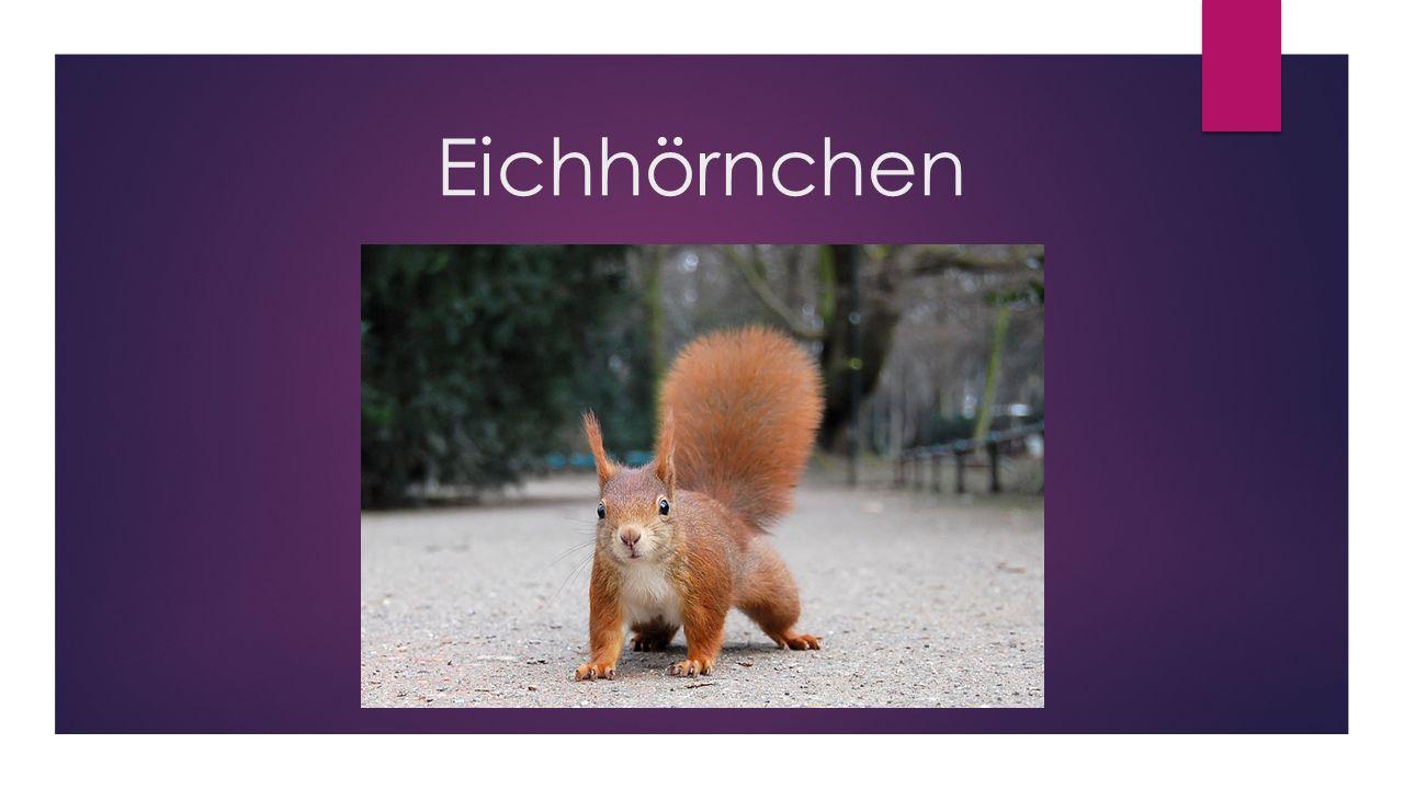 aussehen eichhörnchen text