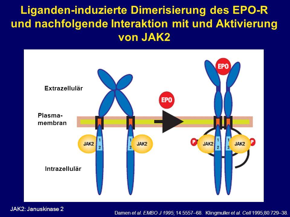 Liganden-induzierte Dimerisierung des EPO-R und nachfolgende Interaktion mit und Aktivierung von JAK2