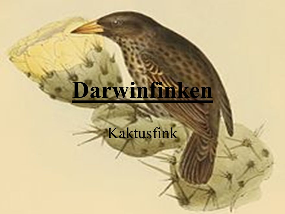Darwinfinken Kaktusfink