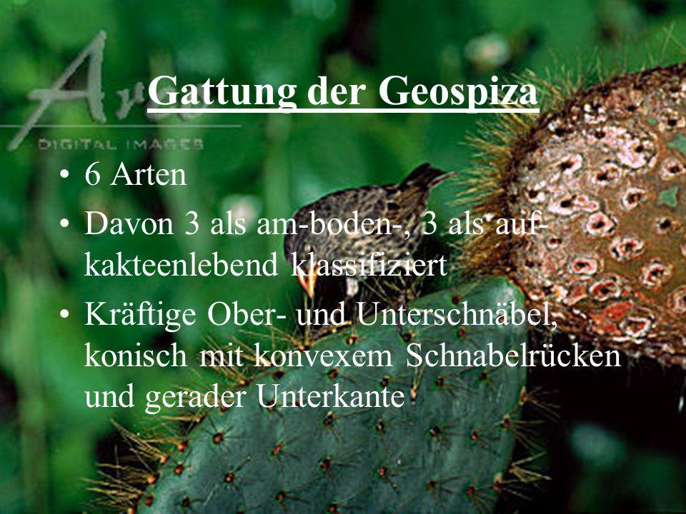 Gattung der Geospiza 6 Arten