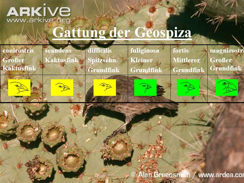 Gattung der Geospiza conirostris Großer Kaktusfink scandens Kaktusfink