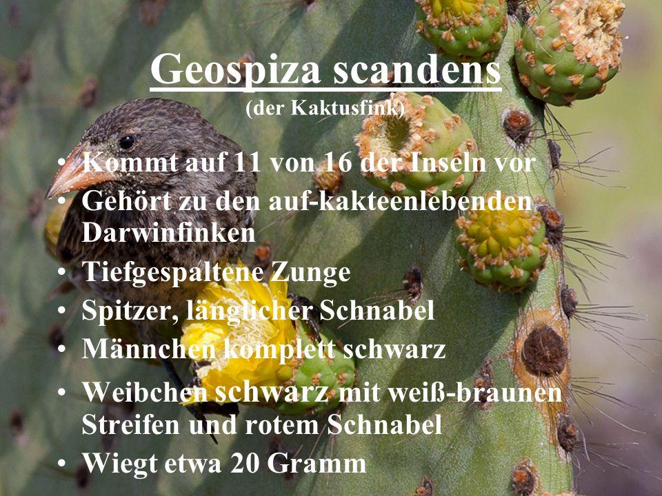 Geospiza scandens (der Kaktusfink)