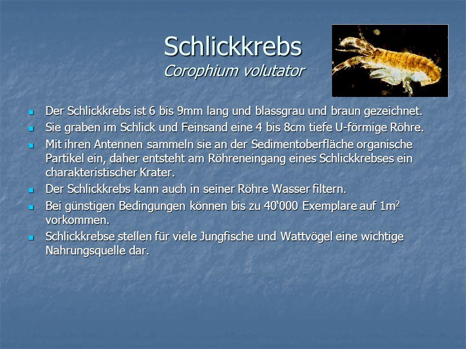 Schlickkrebs Corophium volutator