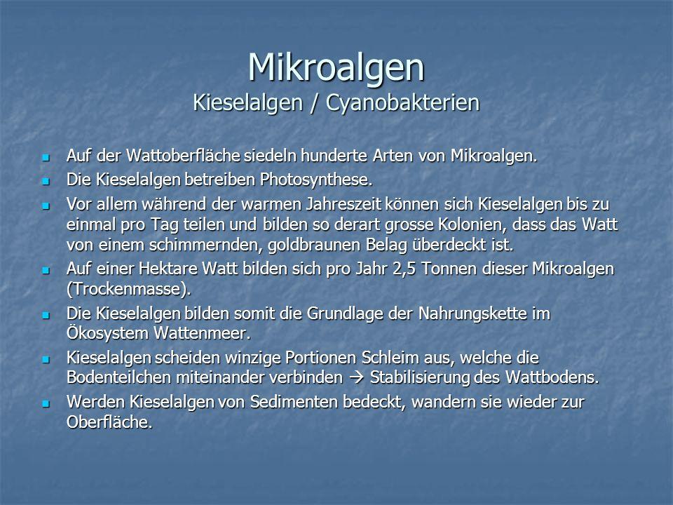 Mikroalgen Kieselalgen / Cyanobakterien