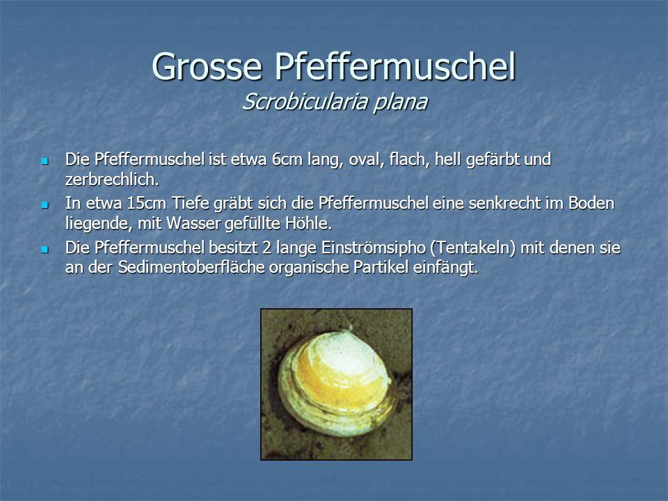 Grosse Pfeffermuschel Scrobicularia plana