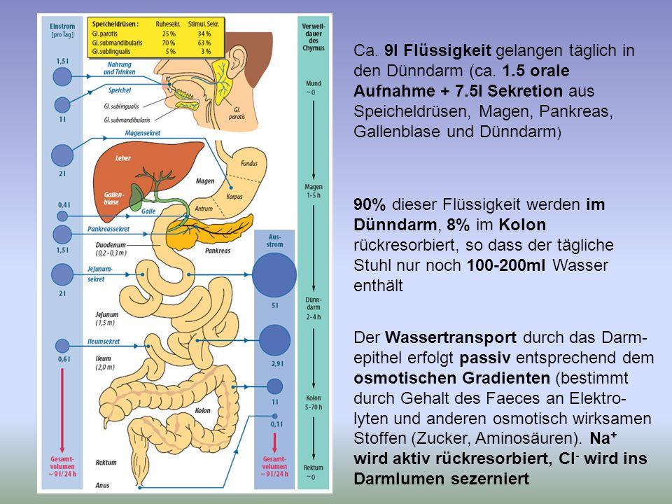 Ca. 9l Flüssigkeit gelangen täglich in den Dünndarm (ca. 1