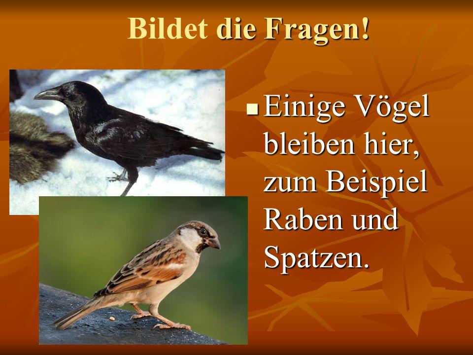 Bildet die Fragen! Einige Vögel bleiben hier, zum Beispiel Raben und Spatzen.