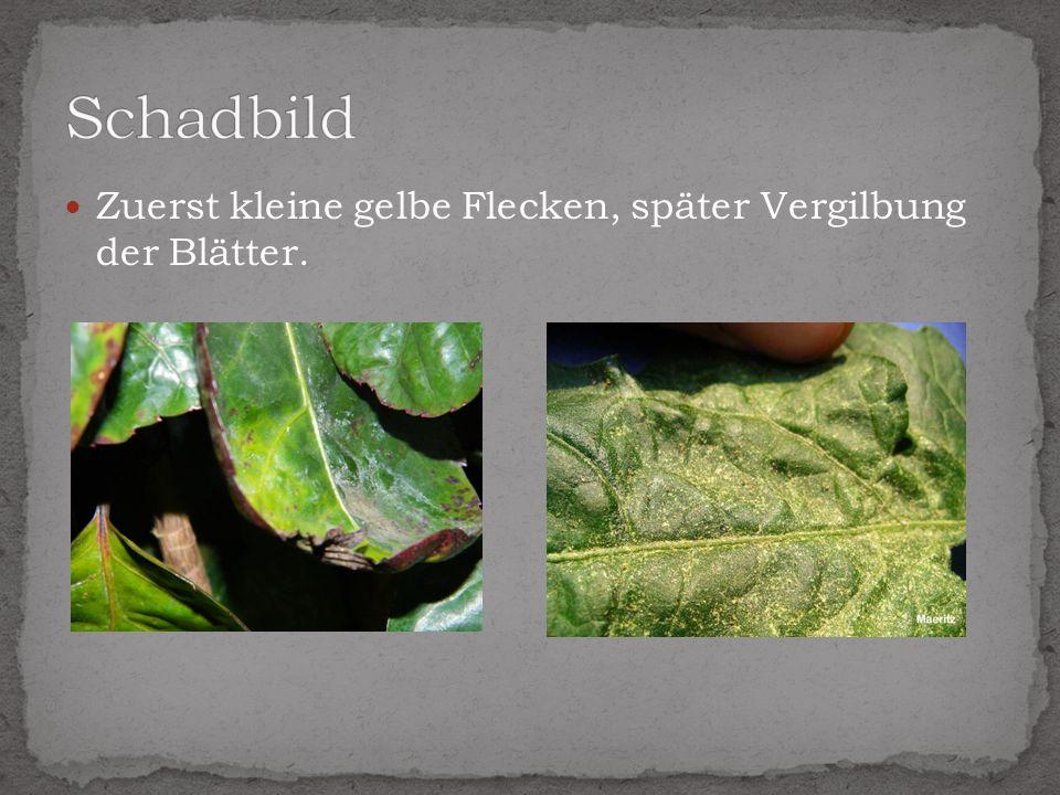 Schadbild Zuerst kleine gelbe Flecken, später Vergilbung der Blätter.