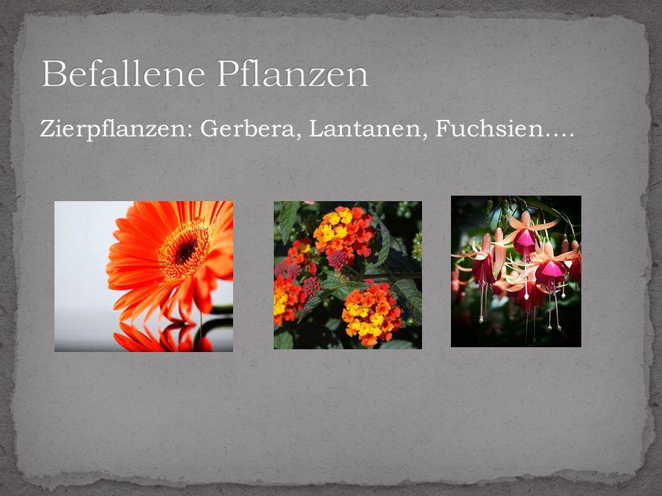 Befallene Pflanzen Zierpflanzen: Gerbera, Lantanen, Fuchsien….