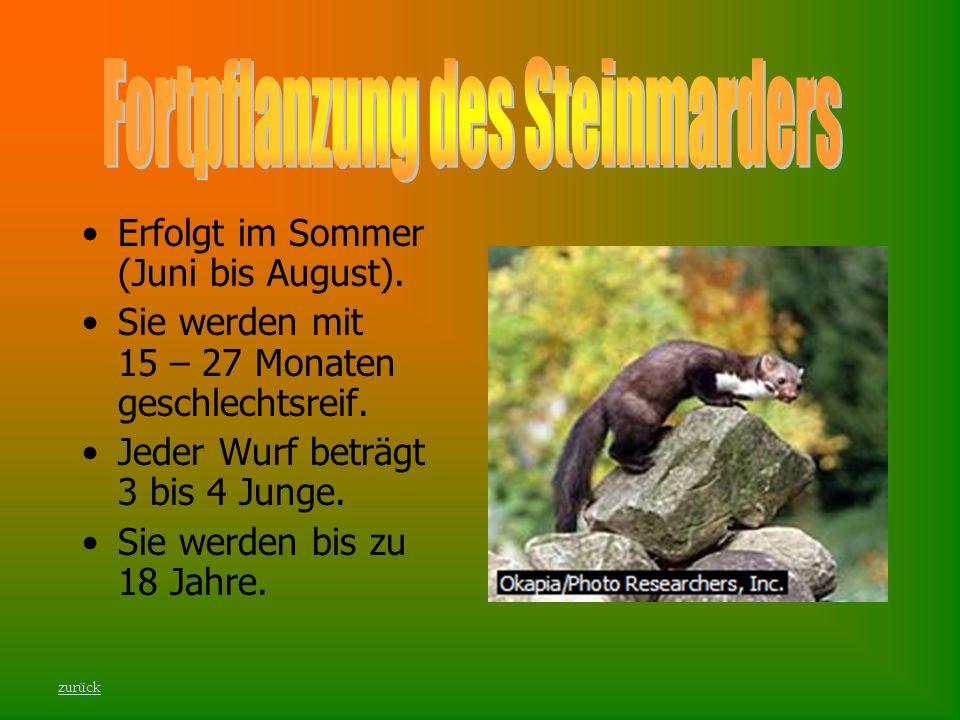Fortpflanzung des Steinmarders