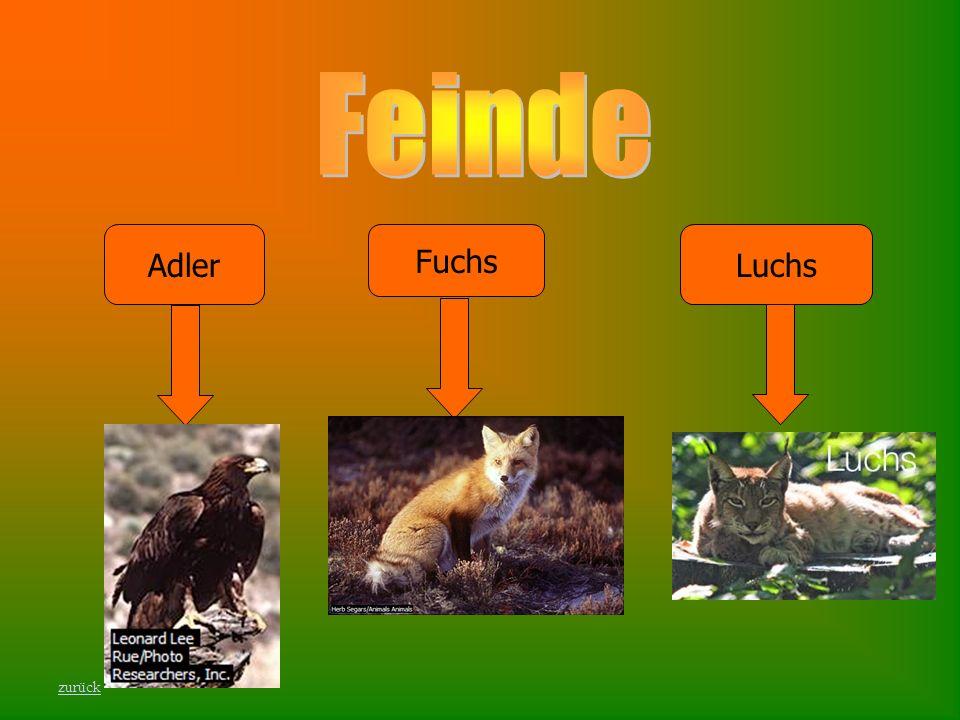 Feinde Adler Fuchs Luchs zurück