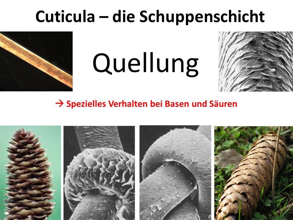 Quellung Cuticula – die Schuppenschicht Aufquellen mit leichten Basen