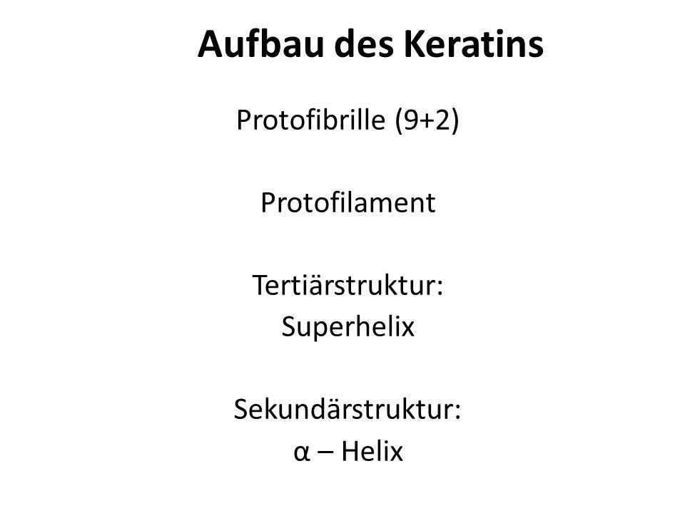 Aufbau des Keratins Protofibrille (9+2) Protofilament Tertiärstruktur: Superhelix Sekundärstruktur: α – Helix