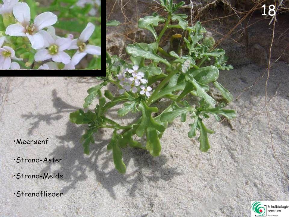 19 Salz-Schuppenmiere Strandflieder Sand-Stiefmütterchen
