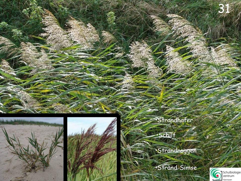 32 Diese Pflanze wuchs früher massenweise vor und in den Dünen.