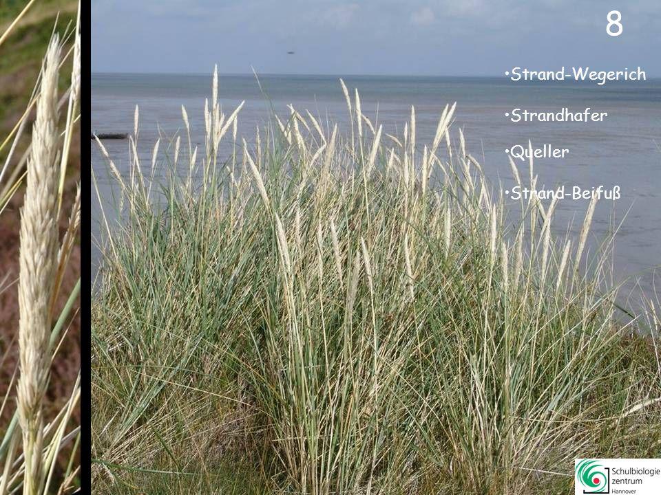 9 Strand-Aster Spieß-Melde Strand-Wegerich Salz-Schuppenmiere