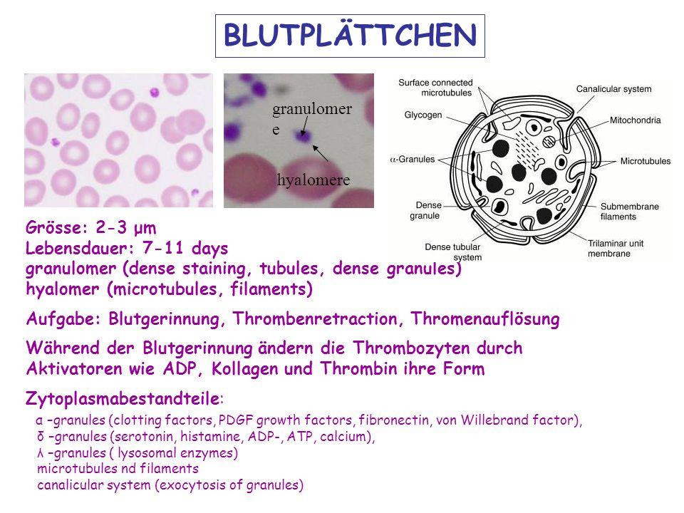 BLUTPLÄTTCHEN granulomere hyalomere Grösse: 2-3 μm