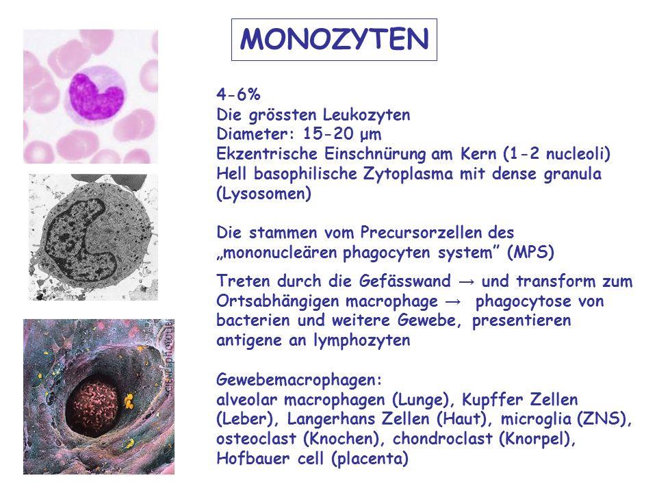 MONOZYTEN 4-6% Die grössten Leukozyten Diameter: 15-20 μm