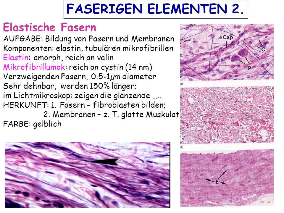 FASERIGEN ELEMENTEN 2. Elastische Fasern